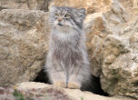 A Pallas Cat emerges from its den